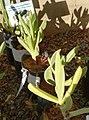 Carpobrotus quadrifidus - West Coast vygie - KDNBG 1.jpg