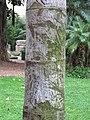 Caryota urens (Square des Etats-Unis, Menton) trunk.jpg