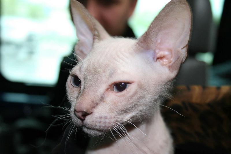 800px-Cat_don_sphinx.JPG