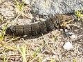 Caterpillar of Elephant Hawk-moth (Deilephila elpenor) - geograph.org.uk - 897281.jpg