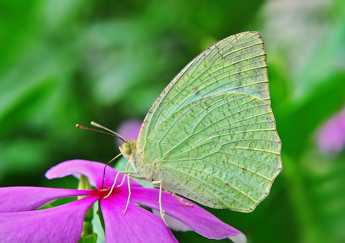 Catopsilia Pyranthe Wikipedia