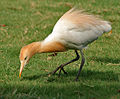 Cattle Egret (Bubulcus ibis) in Hyderabad W IMG 8258.jpg