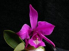 Cattleya × mesquitae