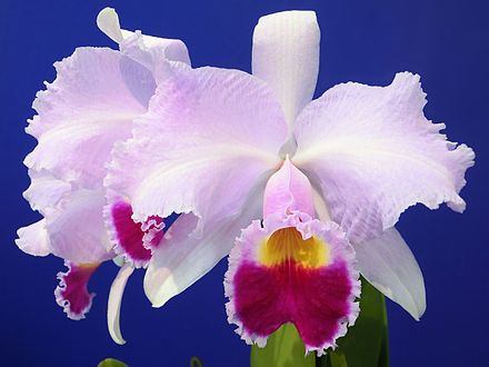 The national flower of Colombia is the endemic orchid Cattleya trianae, which was named after the Colombian botanist and physician Jose Jeronimo Triana. Cattleya trianae tipo Baronessa.jpg