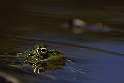 Cautious_frog.jpg