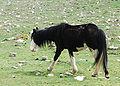Cavallo Rosello.jpg