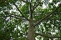 Ceiba (Ceiba pentandra) (14366830029).jpg