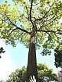 Ceiba pentandra madeira hg.jpg