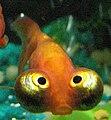 Celestial eye goldfish.jpg