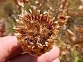 Centaurea macrocephala (29312947226).jpg