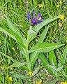 Centaurea montana in Avoriaz (3).jpg