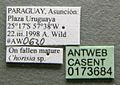 Cephalotes jheringi casent0173684 label 1.jpg