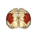 Cerebrum - Inferior parietal lobule - posterior view.png