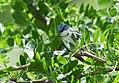 Cerulean Warbler (male) (34996527816).jpg