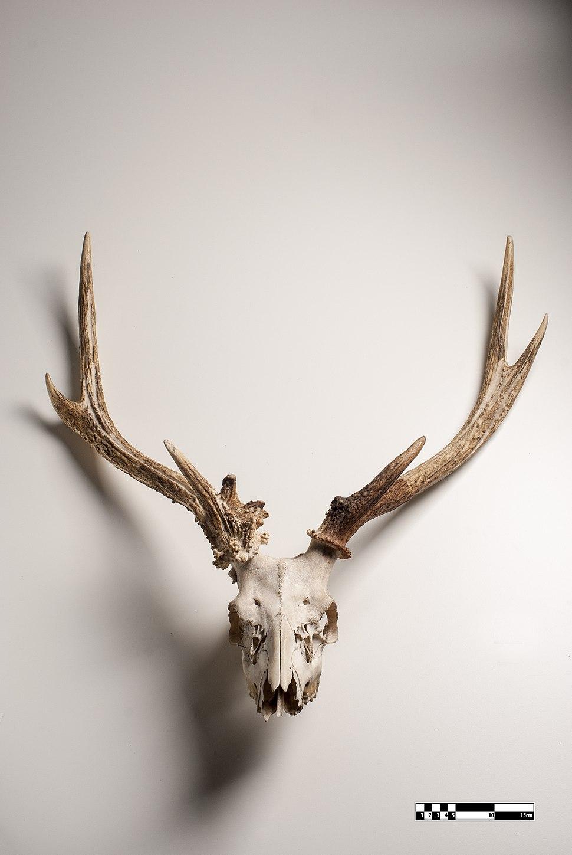 Cervid skull-FMVZ USP-21.jpeg