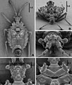 Cervinotaptera tomhenryi (10.3897-zookeys.796.24540) Figure 2.jpg