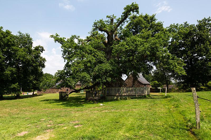 File:Chêne à Guillotin en été, Concoret, France.jpg