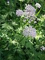 Chaerophyllum hirsutum 02.JPG