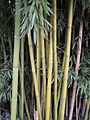 Chaume de bambou bamboo stalk VAN DEN HENDE ALAIN CC BY SA 40 02001.jpg