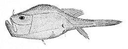 Chaunax pictus