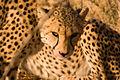 Cheetah (3685504144).jpg