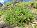 Cheirolophus burchardii Tenerife 1.jpg