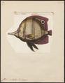 Chelmo rostratus - 1700-1880 - Print - Iconographia Zoologica - Special Collections University of Amsterdam - UBA01 IZ13100185.tif