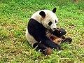 Chengdu-pandas-d04-small.JPG