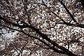 Cherry Blossom in Jinhae-2016-04-02-5.jpg