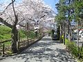 Cherry blossoms at Gero Station, Gero, 2014.jpg