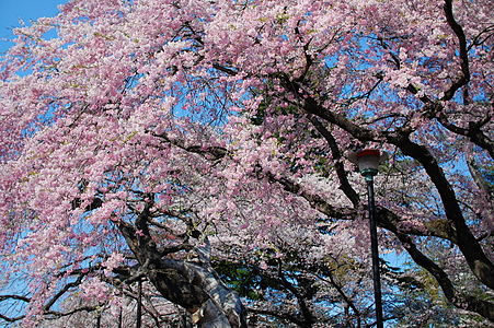 Cherry blossoms in the Tsutsujigaoka Park.jpg