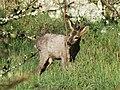 Chevreuil mâle Périgueux (7).jpg