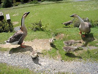 Chinese goose - A family at Staglands Wildlife Reserve, Wellington, New Zealand