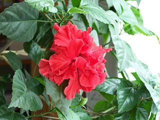 Ibištek (čínska ruža)