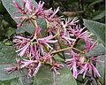 Chionanthus pubescens, Argupo Tree flowers (11650824544).jpg