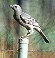 Chlamydera nuchalis (Great Bowerbird)1.jpg