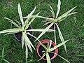Chlorophytum comosum 04.jpg