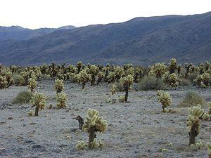 Cholla Cactus Dec 2006