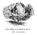 Chou Milan très hâtif de Paris Vilmorin-Andrieux 1904.png