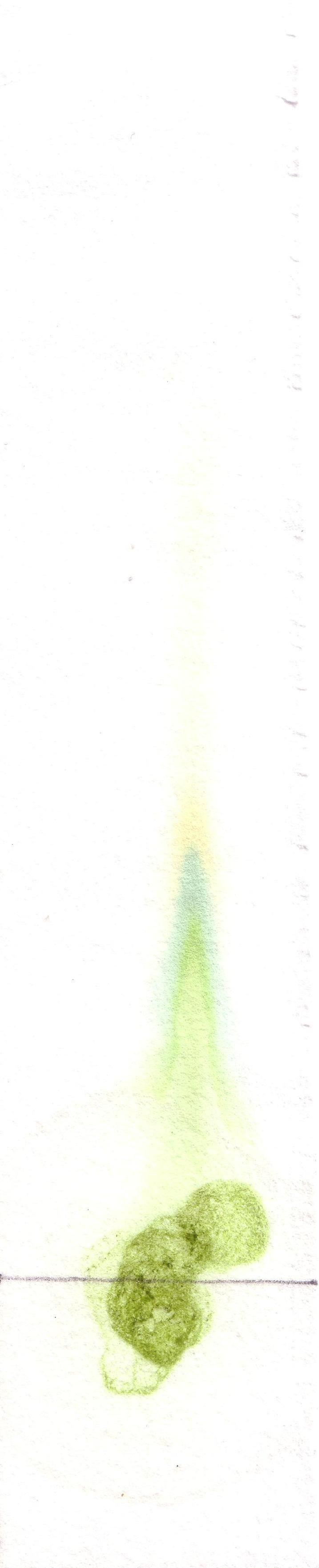 Paper chromatography of some spinach leaf extract shows the various pigments present in their chloroplasts.