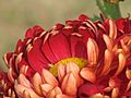 Chrysanthemum close up.jpg