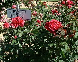 Rosa 'Chrysler Imperial' - Image: Chrysler imperial 3 1
