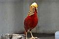 Chrysolophus pictus (male), Lahore Zoo - 09.jpg