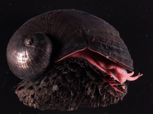 Right side view of a dark snail, dark scales on its foot and a red body.