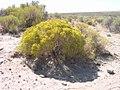 Chrysothamnus nauseosus plant-9-03-04.jpg