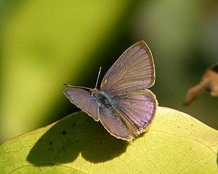 <i>Anthene emolus</i> Species of butterfly