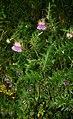Cirsium caucasicum 3.jpg