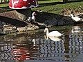 Cisne y gansos en el parque de la Era - San Andres del Rabanedo - panoramio.jpg