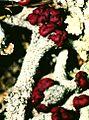 Cladonia cristatella-5.jpg