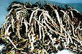 Cladonia farinacea.jpg